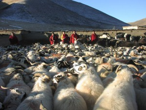 The Kilung Foundation now raises about 300 sheep at the Life Release farm, to benefit the local nomadic community