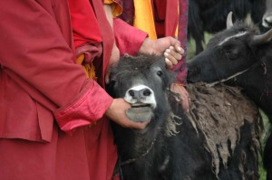 The Life Release Farms raises about 70 yaks, and the goal is to use their hair, dung and milk to provide products, while not killing them for meat
