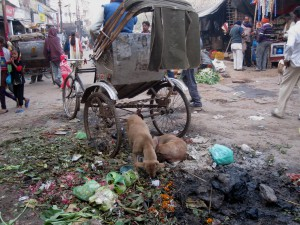 Street dogs are forced to forage for food in trash heaps, if they are to survive.