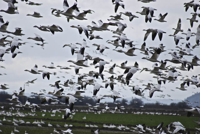 Geese rise in Washington state's Skagit Valley, reflecting a healthy environment.