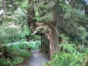 A majestic Western Red Cedar supports all retreatants at Cloud Mountain