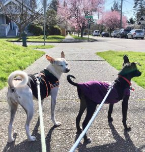 Now on the streets of Seattle, Assi is learning how to walk on her leash and to interact with U.S. dogs